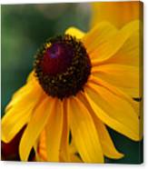 Black Eye Susan Canvas Print