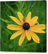 Black Eyed Susan And Friends Canvas Print