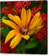 Black-eyed Susan And Yarrow Canvas Print