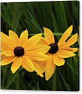 Black-eyed Susan Blossoms Canvas Print