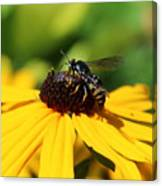 Black Eyed Susan With Wasp Canvas Print