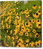 Black Eyed Susans-1 Canvas Print
