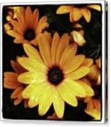 Black Eyed Susans. Looks Like They're Canvas Print