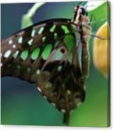 Black Green Tailed Jay 2 Canvas Print