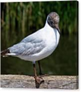 Black-headed Gull - Larus Ridibundus Canvas Print