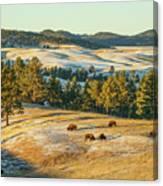 Black Hills Bison Before Sunset Canvas Print