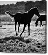 Black Horse. Canvas Print