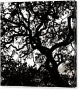 Black Jack Oak Canvas Print