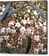 Black Lace Elderberry With Raindrops Canvas Print