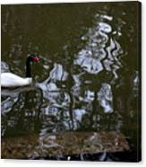 Black Neck Swan In Review Canvas Print