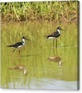Black Necked Stilt, In The Pond In The Galapagos Canvas Print