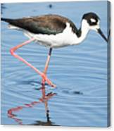 Black-necked Stilt Wading  Canvas Print
