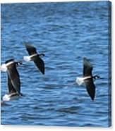 Black-necked Stilts In Flight - 2 Canvas Print