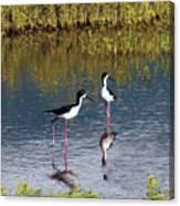 Black-necked Stilts Canvas Print