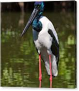 Black-necked Stork Canvas Print