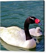 Black-necked Swan With Baby Canvas Print