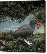 Black Oystercatcher Canvas Print