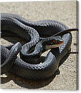 Black Racer Canvas Print