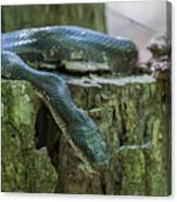 Black Rat Snake Canvas Print