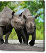 Black Rhinoceroses Canvas Print