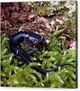 Black Salamander Canvas Print