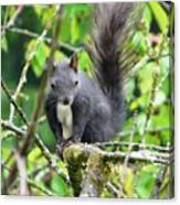 Black Squirrel In The Cherry Tree Canvas Print