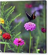 Black Swallowtail Butterfly In August  Canvas Print