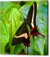 Black Swallowtail Butterfly In Iguazu Falls National Park-brazil  Canvas Print