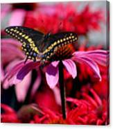Black Swallowtail Butterfly On Coneflower Square Canvas Print