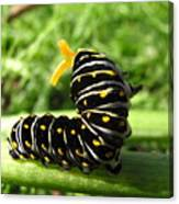 Black Swallowtail Caterpillar Canvas Print