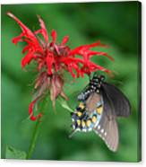 Black Swallowtail On Bee Balm Canvas Print