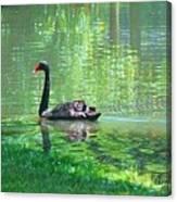 Black Swan Swim In A Pond Canvas Print