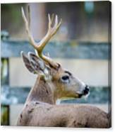Black-tailed Buck Canvas Print