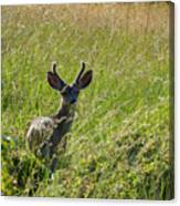Black-tailed Deer In Tall Meadow Grass Canvas Print