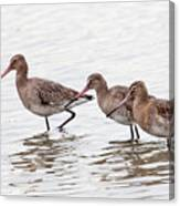 Black-tailed Godwits Canvas Print