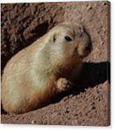 Black Tailed Prairie Dog Climbing Out Of A Hole Canvas Print