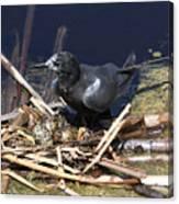 Black Tern On Nest Canvas Print