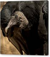 Black Vulture 2 Canvas Print