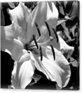 Black White Lilly Canvas Print