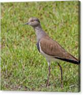 Black-winged Plover Canvas Print