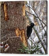 Black Woodpecker Peek Canvas Print