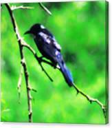 Blackbird Canvas Print