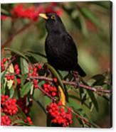 Blackbird Red Berries Canvas Print