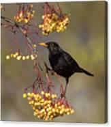Blackbird Yellow Berries Canvas Print