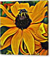 Blackeyed Susan With Bee Canvas Print
