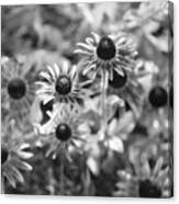 Blackeyed Susans In Black And White Canvas Print
