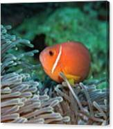Blackfoot Anemonefish Hosted In A Magnificent Sea Anemone Canvas Print