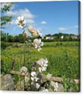 Bladder Campion On Stone Wall Canvas Print