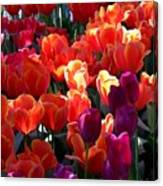 Blankets Of Tulips Canvas Print