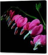Bleeding Hearts 2011-1 Canvas Print